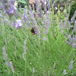 Lavendelblüten mit Biene
